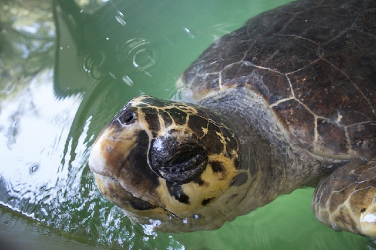 Fishers Safe Release A Sea Turtle In Tunisia Medmarineturtles Com